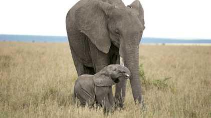Comment les éléphants communiquent-ils ?