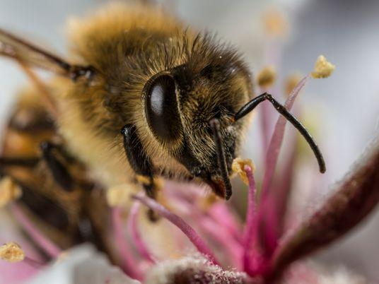 Les abeilles mellifères accumulent les microplastiques présents dans l'air