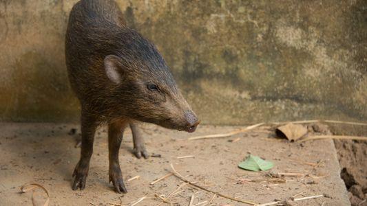 Après avoir frôlé l'extinction, le plus petit sanglier du monde fait son retour en Inde