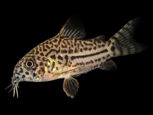Comment ce petit poisson cuirassé peut-il survivre aux morsures de piranhas ?