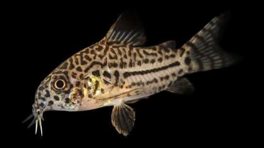 Grâce à ses écailles extrêmement résistantes, le corydoras à trois bandes (Corydoras trilineatus), un poisson-chat cuirassé, peut ...