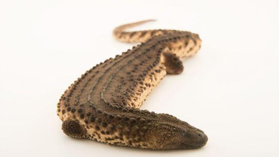 01-earless-monitor-lizard