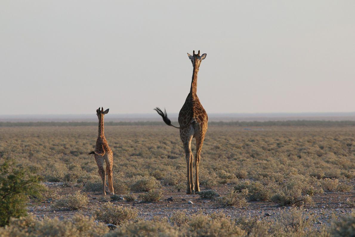 Une girafe d'Angola (Giraffa camelopardalis angolensis) et son petit accueillent le jour dans les plaines de ...