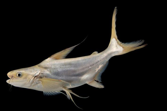 Un pangasius géant, ou poisson-chat géant du Mékong. Cette espèce est considérée comme en danger critique.