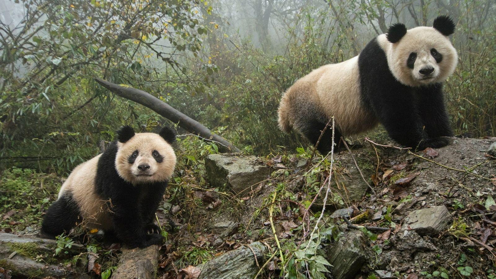 Les pandas géants ne seraient plus en danger d'extinction