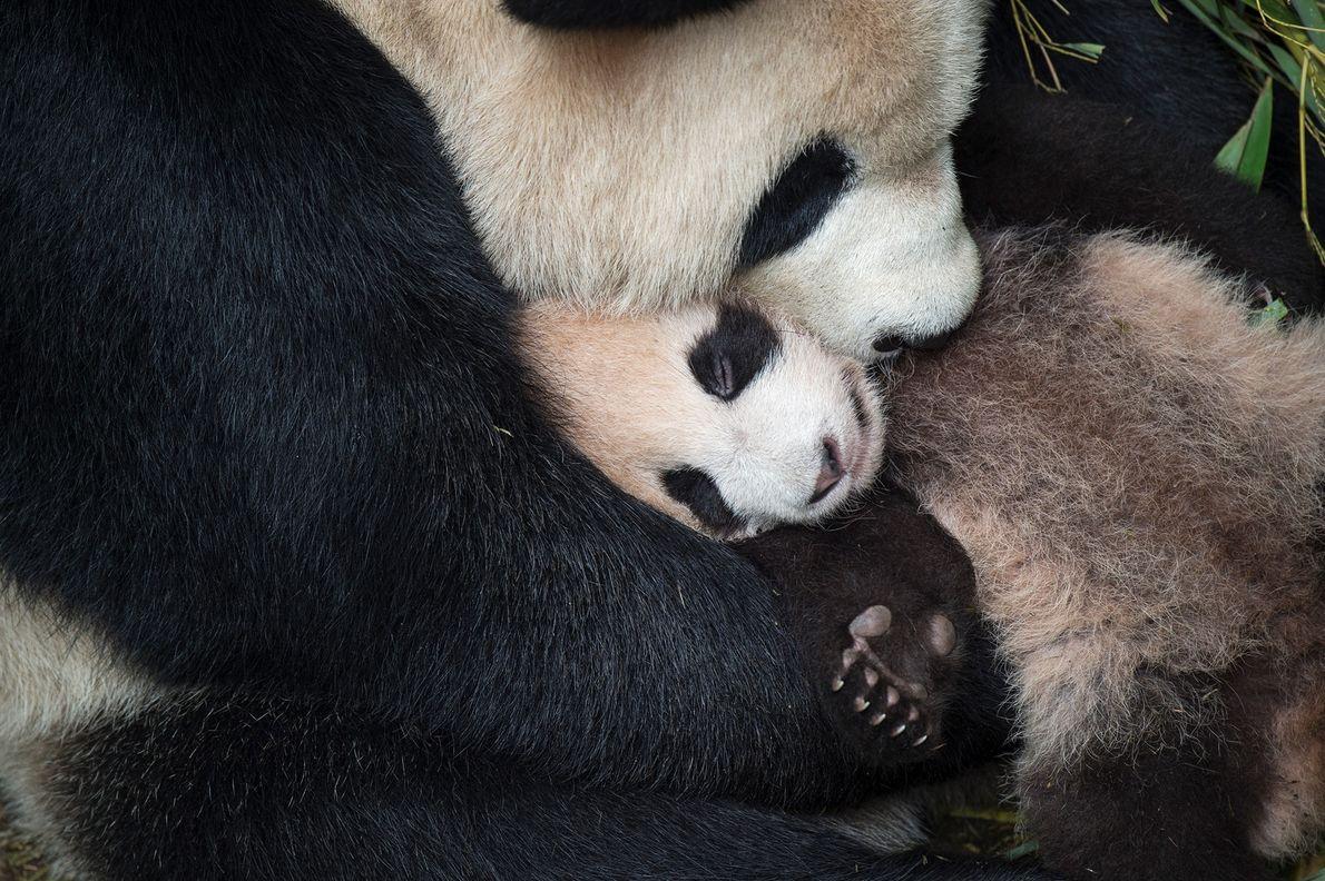 L'Ailuropoda melanoleuca berce son petit au Centre de recherche et de conservation de Wolong en Chine.  Le ...