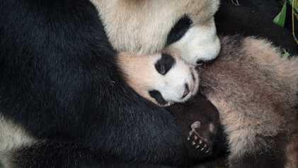 Instants de tendresse entre les bébés animaux et leurs mamans