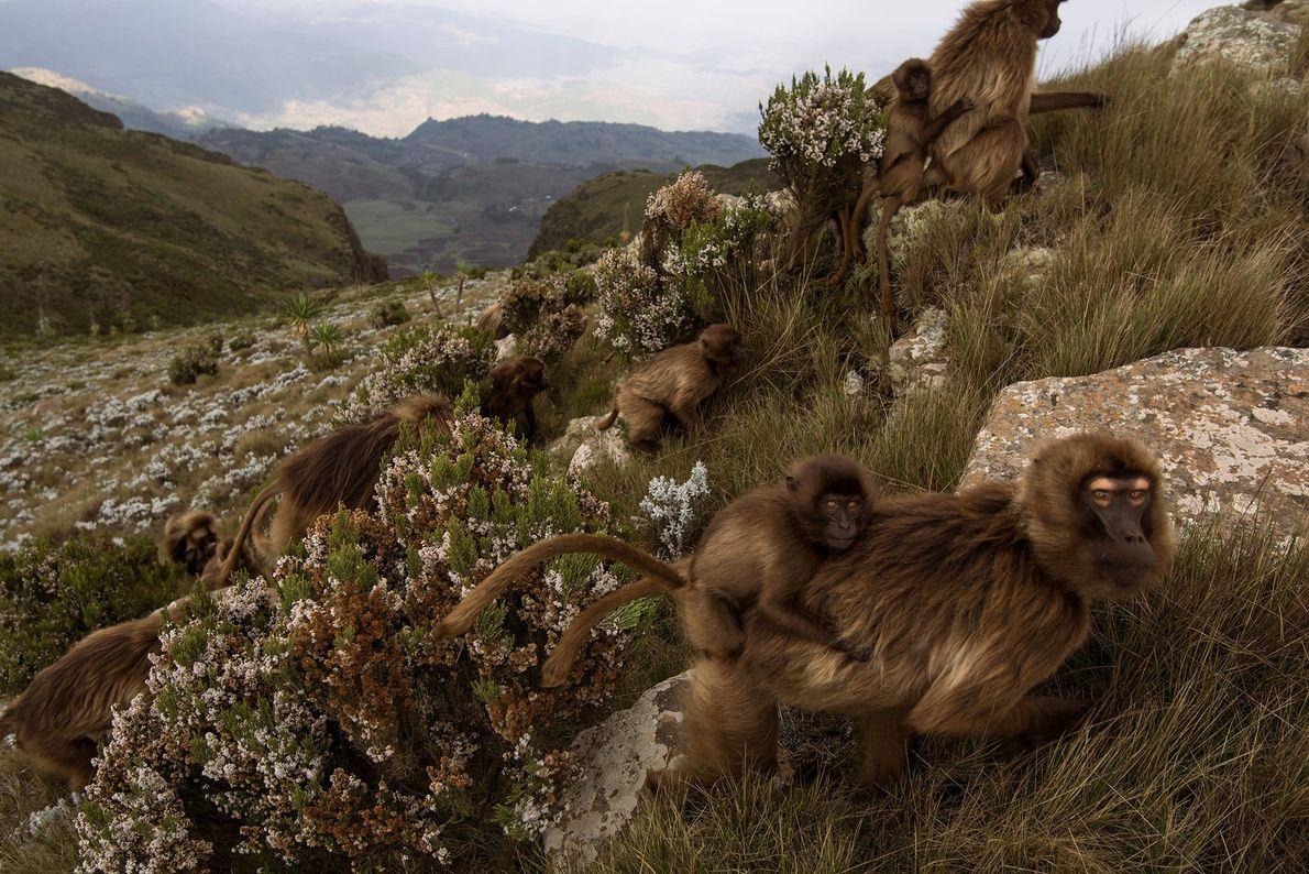 Le Theropithecus gelada, souvent confondu avec le babouin, est la dernière espèce vivante du genre Theropithecus ...