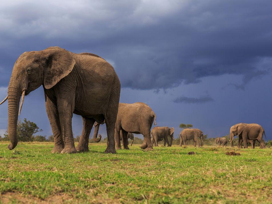 Les deux espèces d'éléphants d'Afrique sont désormais menacées d'extinction