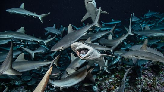 Un banc de requins gris de récif, espèce courante dans la région indo-pacifique, en train de ...