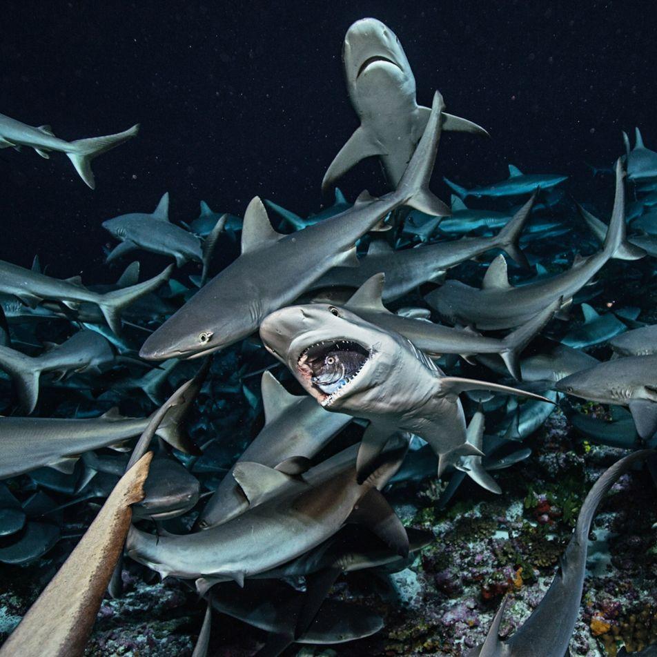 La présence de requins équilibre la vie océanique