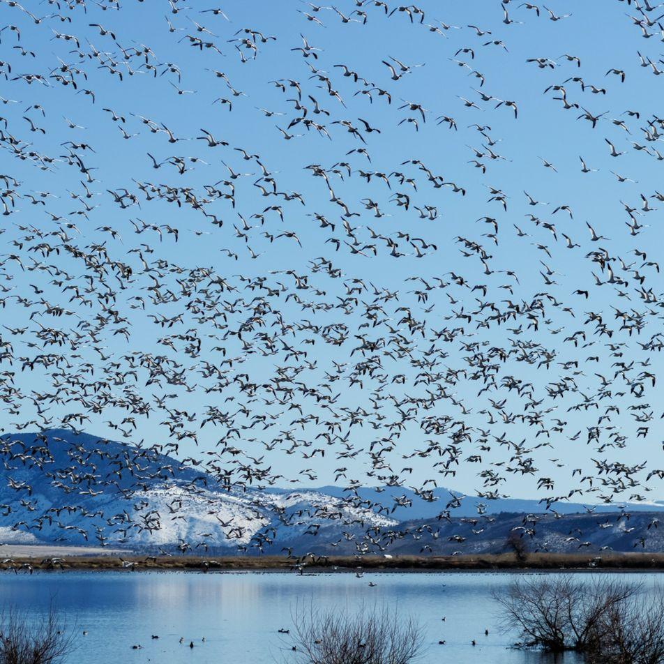 La migration des oiseaux, plus belle chorégraphie de la nature