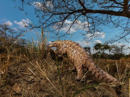 Après une baisse significative en 2020, le trafic d'espèces sauvages pourrait exploser en 2021