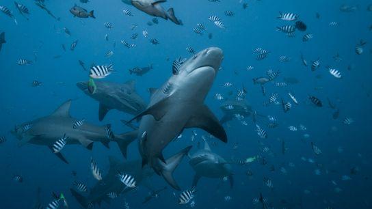01-bull-shark