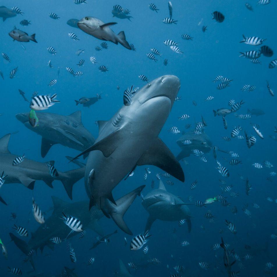 Big Bull, l'une des plus grandes requins-bouledogues du monde, a eu des petits