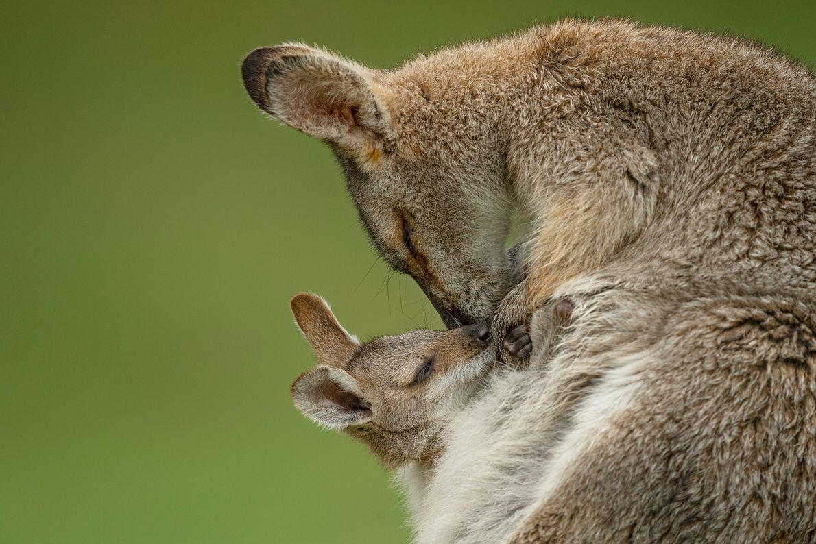 Câlin entre bébé Macropus rufogriseus et sa maman au Bunya Mountains National Park dans l'État australien ...