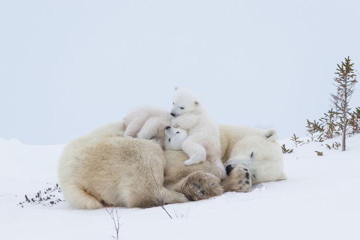 Une ourse polaire se délasse après avoir allaité ses petits au parc national Wapusk, situé dans ...