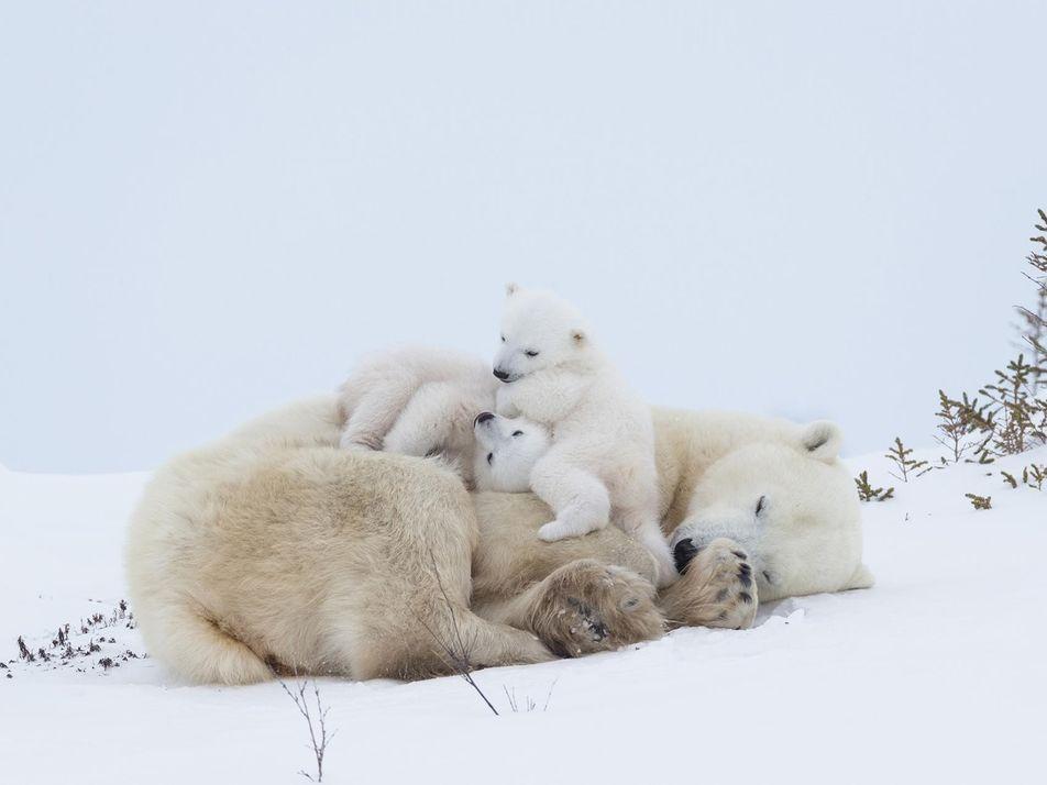 Les ours polaires pourraient totalement disparaître avant 2100