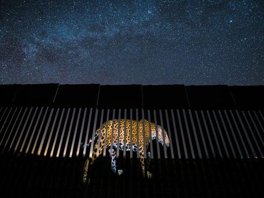 Les jaguars à la reconquête des États-Unis ?