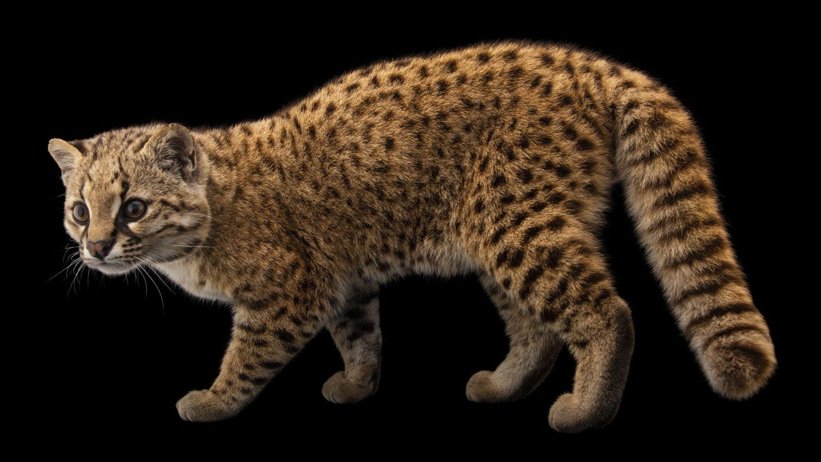 Leguigna, Leopardus guigna, est la 10000e espèce à rejoindre l'arche photographique de National Geographic (projet «Photo ...