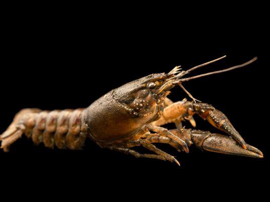Des traces d'antidépresseurs dans les cours d'eau modifient le comportement des écrevisses