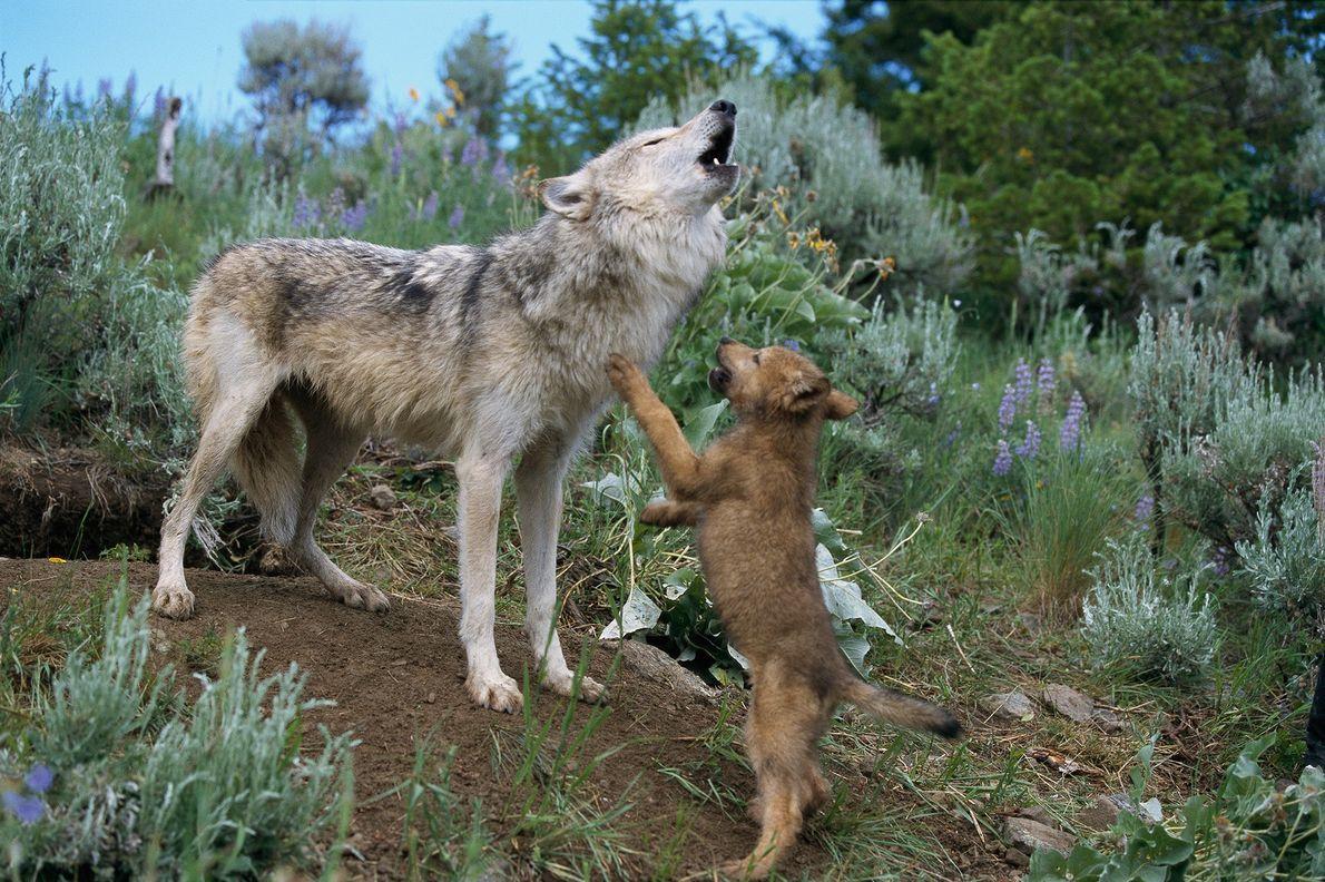 Les hurlements d'une louve font sursauter de joie son petit dans le Montana.  La patience dont font ...