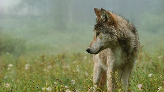 Dans l'Idaho, un projet de loi entend tuer 90 % des loups de l'État