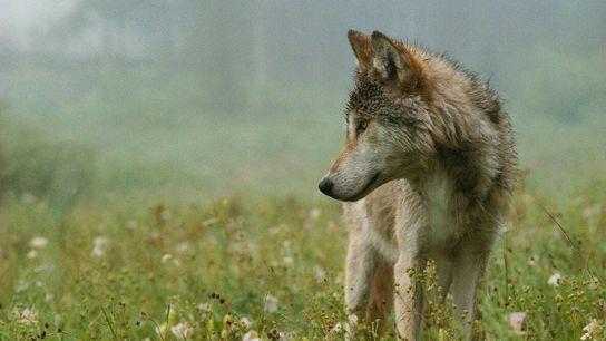 Un loup gris au beau milieu d'une prairie de fleurs sauvages. En Idaho, un nouveau décret ...