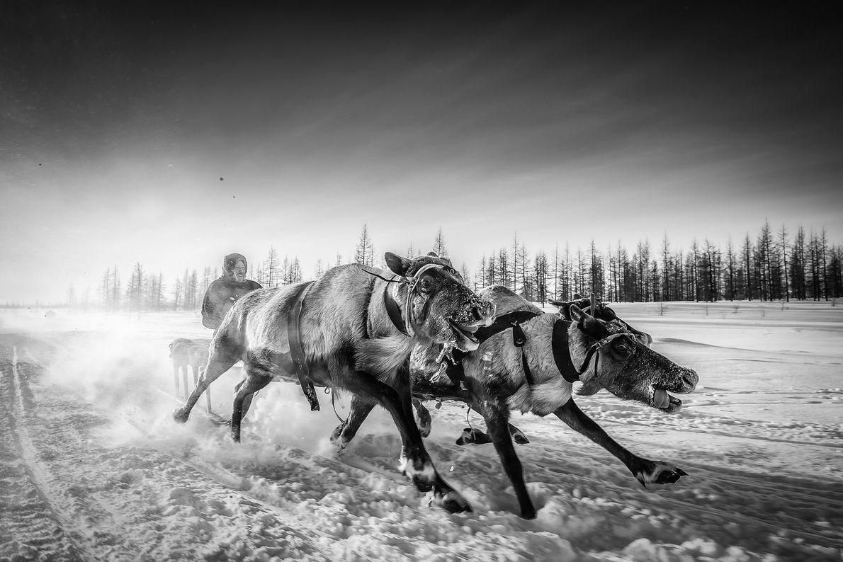 « Depuis la nuit des temps, les Nenets ont mené une vie nomade, participé à l'élevage ...