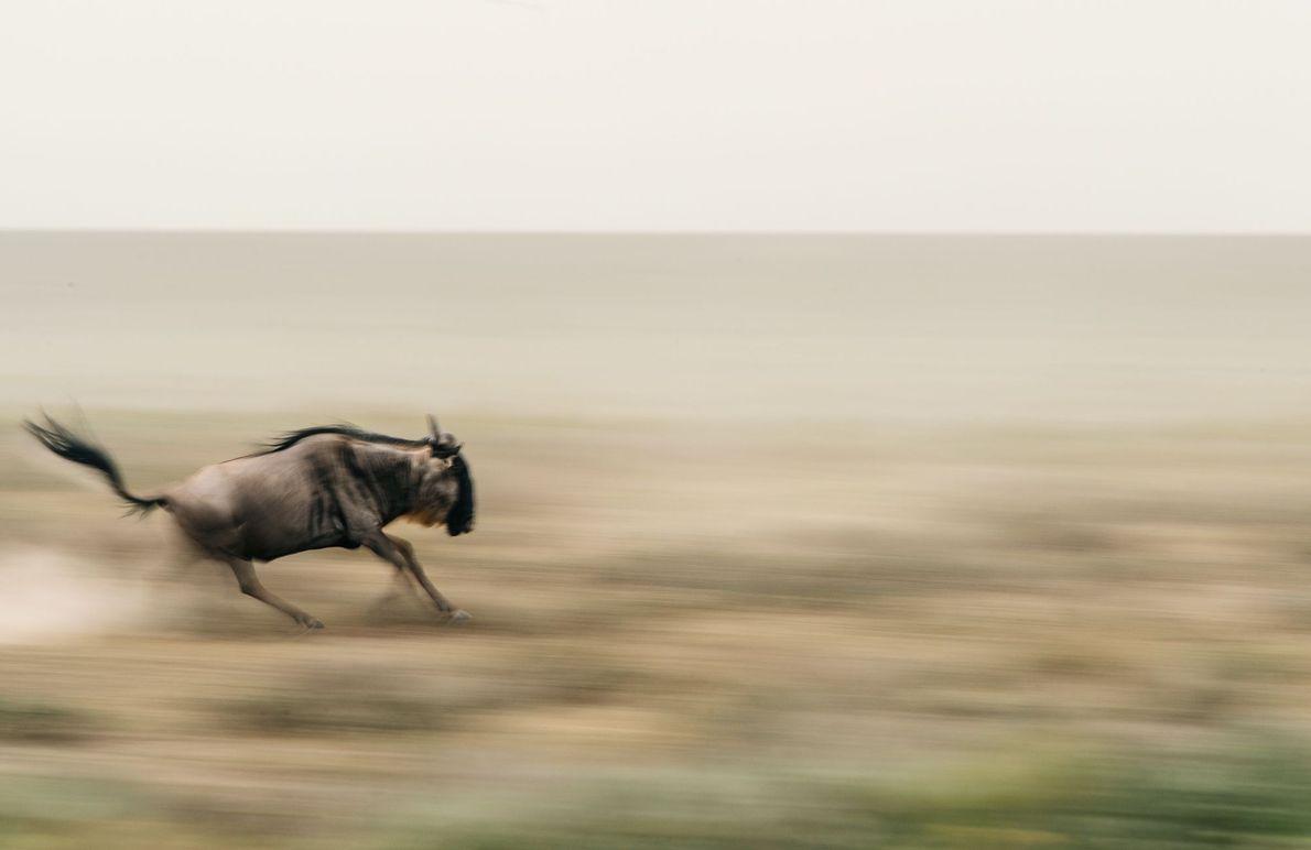 « Un gnou fonce à travers les plaines de Ndutu situées au sud du Serengeti pendant ...