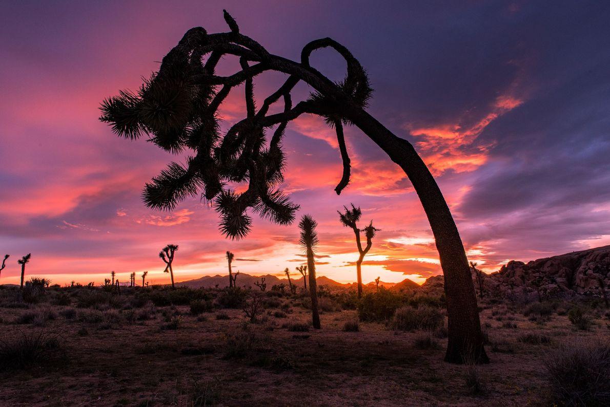 « Un vieux yucca brevifolia, plus connu sous le nom d'arbre de Josué, s'incline vers le ...