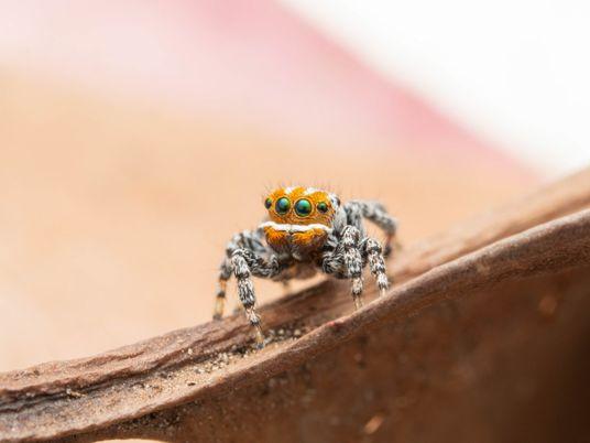 Nemo, la nouvelle araignée paon venue tout droit d'Australie