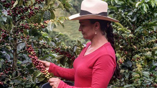 Alba Maria, matriarche d'une famille de cultivateurs, implantée depuis plusieurs générations dans le Caldas, en Colombie, ...
