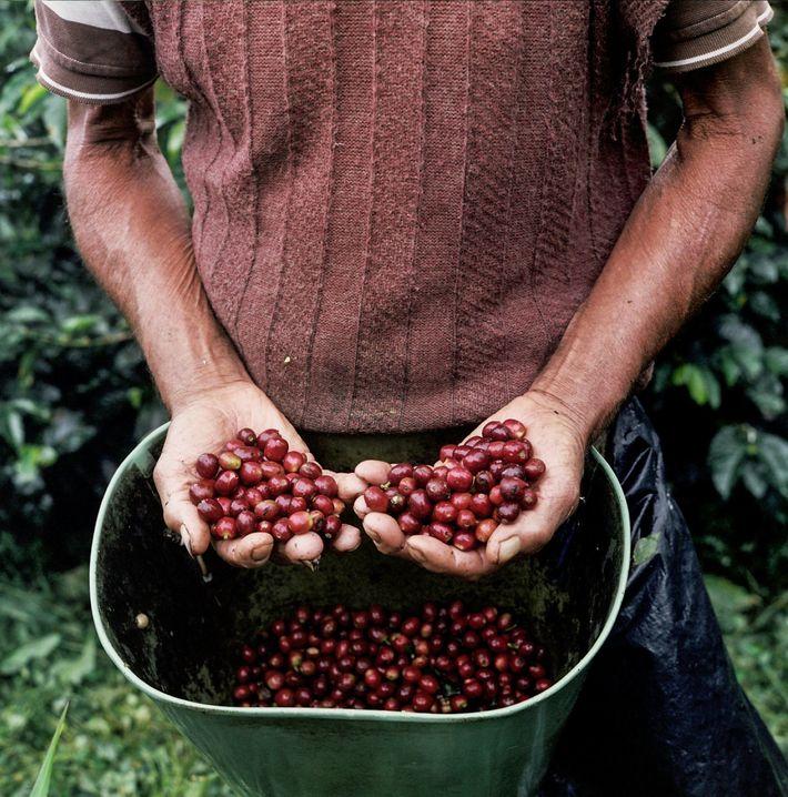 Les petites plantations de café parsèment les pentes des montagnes andines du département colombien de Caldas, ...