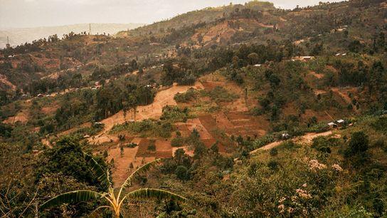 Pratiquant la culture du café depuis des siècles, l'Éthiopie est communément considérée comme le berceau génétique ...