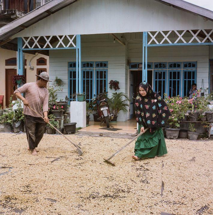 Les caféiculteurs de Sumatra utilisent une technique unique de « déparchage humide » qui permet d'accélérer ...