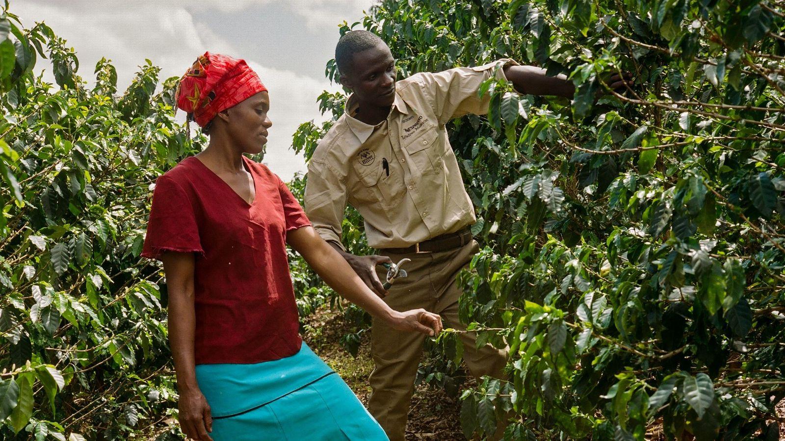 Les agronomes Nespresso dispensent des cours pratiques sur des parcelles de démonstration où les apprentis peuvent ...