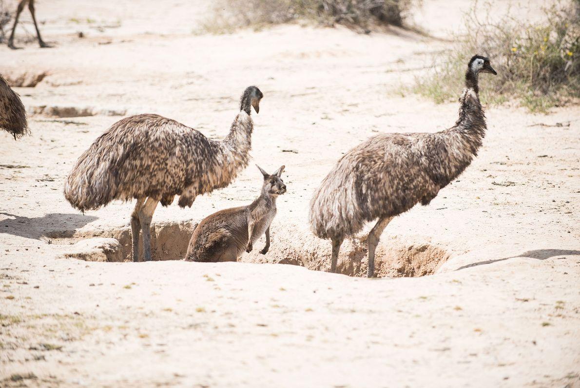 Les émeus et les kangourous d'Australie se disputent un territoire dans Vigars Well, une des quatre ...