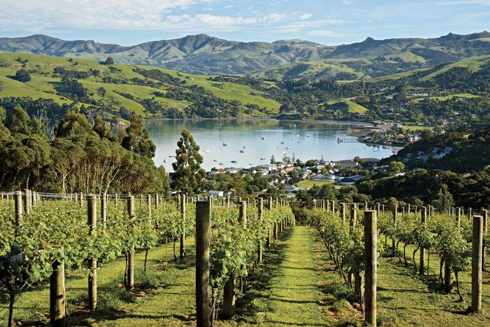 Les vignes recouvrent les terres bordant la ville d'Akaroa aux abords de la péninsule de Banks, ...