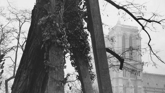 Soutenu par une structure en béton, le plus vieil arbre de Paris, un robinier faux-acacia (Robinia ...
