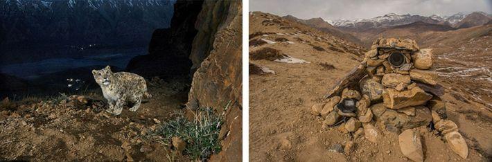 Tom a fourni au photographe Prasenjeet Yadav plusieurs pièges photographiques afin d'immortaliser l'insaisissable félin.