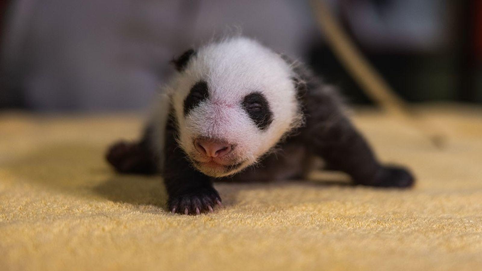 Les pandas ne naissent pas avec leur iconique pelage noir et blanc… mais il arrive très ...