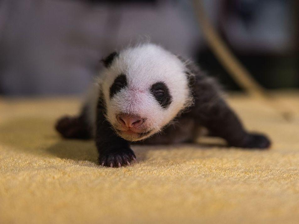 D'êtres chétifs et sans défense aux doux géants : l'évolution des pandas