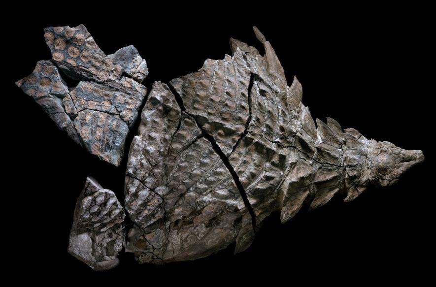 Lorsqu'il était en vie, ce nodosaure mesurait probablement plus de 5.4 mètres et pesait plus de ...