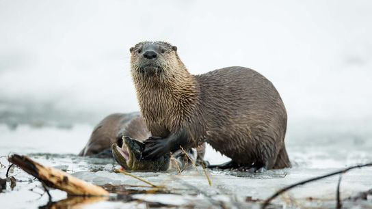 River otters tend to live alone, but they socialize in playful groups.
