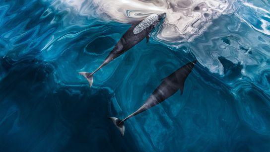 Des dauphins du Nord nagent près de la surface non loin de la Colombie-Britannique, au Canada. ...