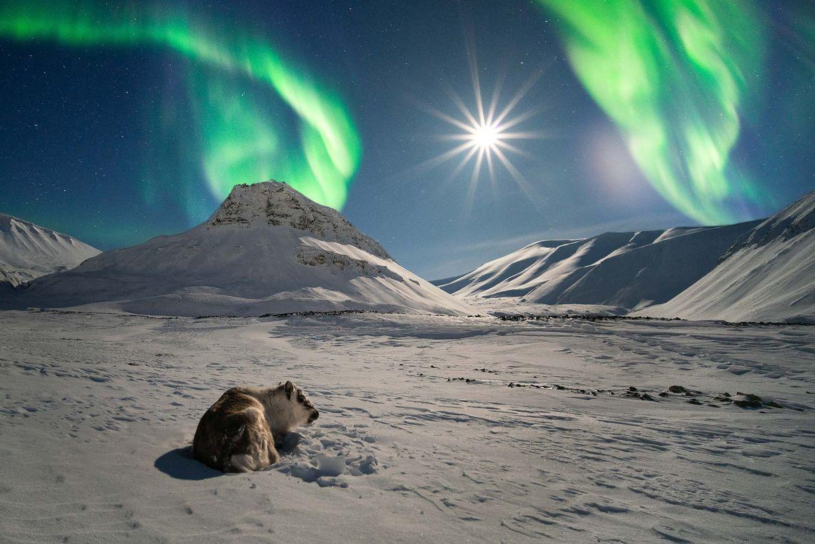 Un renne se prélasse sous une aurore boréale éclairée par une pleine Lune éclatante au Svalbard, ...