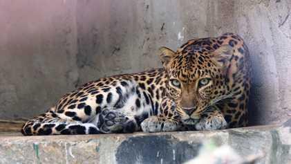 Cambodge : les léopards d'Indochine en voie de disparition