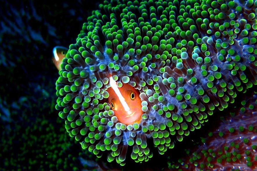 Un poisson-clown orange sur l'île de Sipadan, en Malaisie.