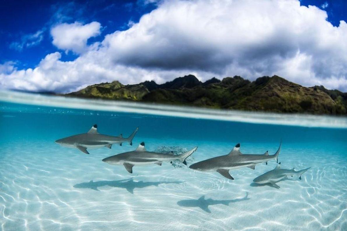Des requins bordés à Papeete, en Polynésie française.